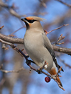 Bohemian Waxwing, photo by Larry Master