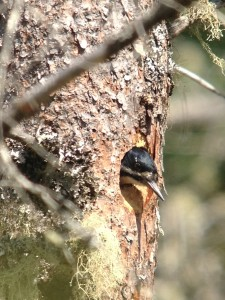Female Black-backed Woodpecker in defensive position.