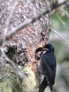 Female Black-backed Woodpecker feeding young