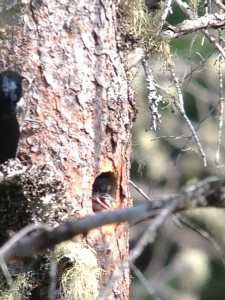 Black-backed Woodpecker young sticking its head out of the nest hole