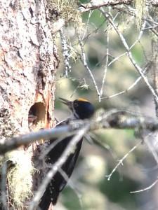 Male Black-backed Woodpecker feeding young