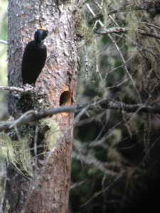 Male Black-backed Woodpecker near his nest hole