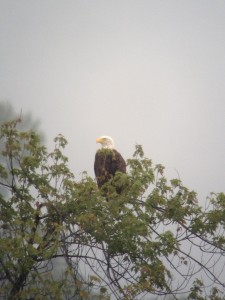 Adult Bald Eagle perched over Tupper Lake just after a non-stop attack on a Great Blue Heron.  Taken on August 15, 2013.