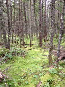 Lovely boreal forest along the Northville-Placid Trail in Long Lake.  Photographed on August 18, 2013.