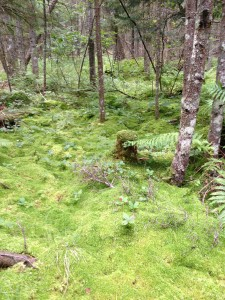 Sphagnum Moss in the boreal forest along the Northville-Placid Trail in Long Lake.  Photograph taken on August 18, 2013.