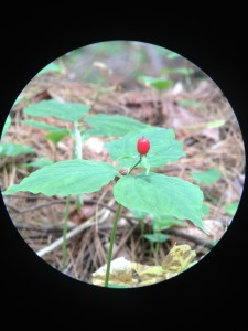 A trillium gone to berry along the Northville-Placid Trail in Long Lake.  Photograph taken on August 18, 2013.