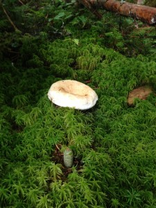 Large mushroom growing in the sphagnum moss along the Northville-Placid Trail in Long Lake.  Photograph taken on August 27, 2013.