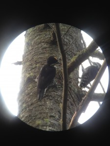 A juvenile male Black-backed Woodpecker (left) begging from an adult male Black-backed Woodpecker (right) along the Northville-Placid Trail in Long Lake.  Photograph taken on August 27, 2013.
