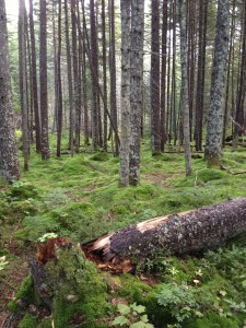 Lovely boreal forest near Helldiver Pond in Moose River Plains.  Photograph taken on August 29, 2013.
