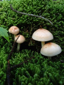 Mushrooms growing in sphagnum moss in the boreal forest photographed on August 30, 2013.