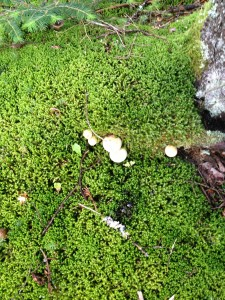 Mushrooms growing from sphagnum moss in the boreal forest near Helldiver Pond in Moose River Plains.  Photograph taken on August 29, 2013.