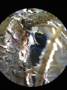 Male Black-backed Woodpecker along the Roosevelt Truck Trail.  Photograph taken on August 30, 2013.
