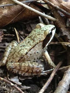 One of many Wood Frogs along the Roosevelt Truck Trail.  Photograph taken on August 30, 2013.