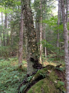 Tree covered in many species of fungus - the extensive jelly-like mushrooms at the base of the tree had an awful smell!