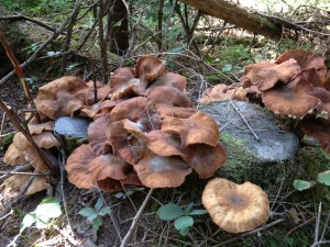 Mushrooms completely covering an old stump - photographed on August 30, 2013.
