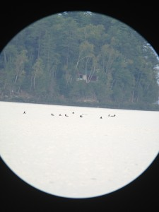 TEN Common Loons by Round Pond on Long Lake.  This photograph was taken on August 30, 2013 from our dock - which was 1.5 miles from the loons!  I used my iPhone connected to my Kowa scope with the Kowa adapter - what a wonderful invention!